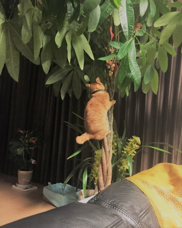 コーヒーの木に登るねむりんさん