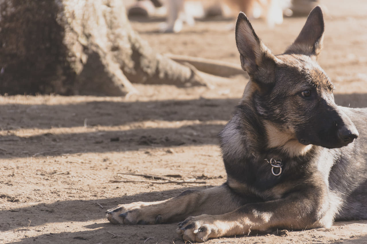 大型犬 シェパード
