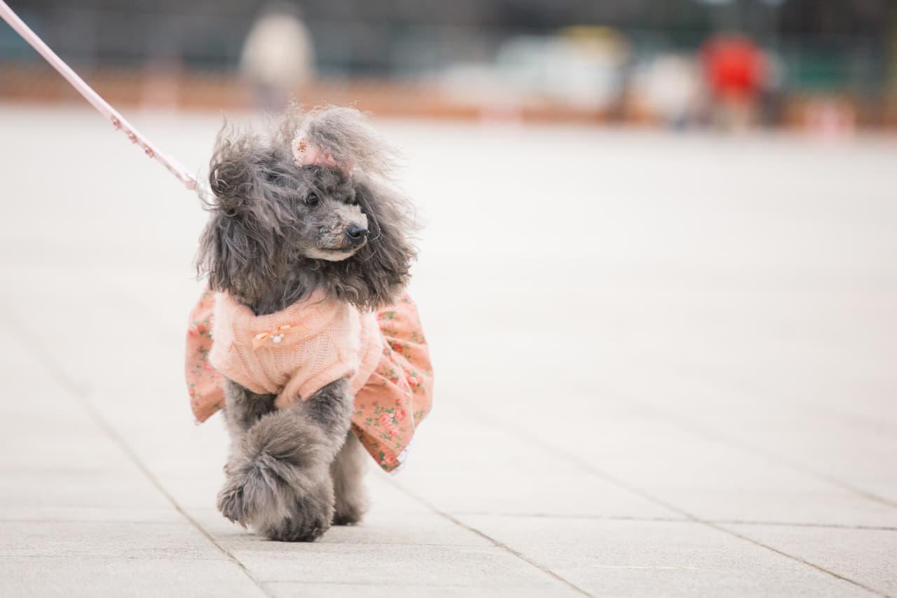 犬 お散歩
