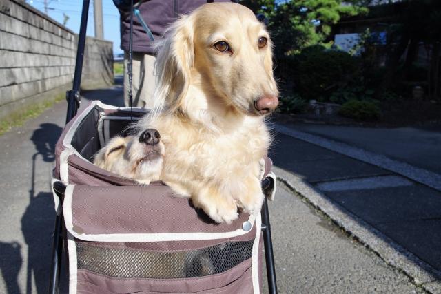 キャリーカートに乗る犬